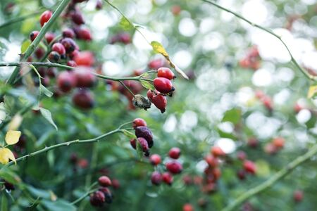 Close-up of dog-rose berries. Dog rose fruits (Rosa canina). Wild rosehips in nature.Close-up of dog-rose berries in fall. Dog rose fruits or Rosa canina.
