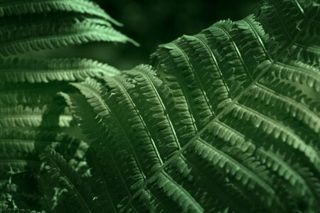 Beautyful ferns leaves green foliage natural floral fern background in sunlight.Natural green fern in the forest.close up Stock Photo