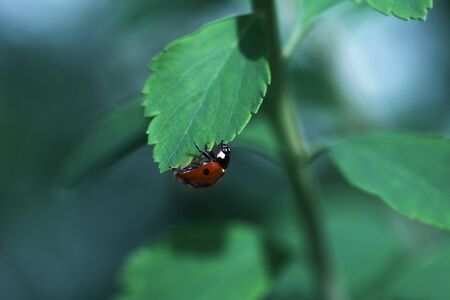 Ladybug on green leaf and green background. beetle ladybird sits on a green leaf Stock Photo