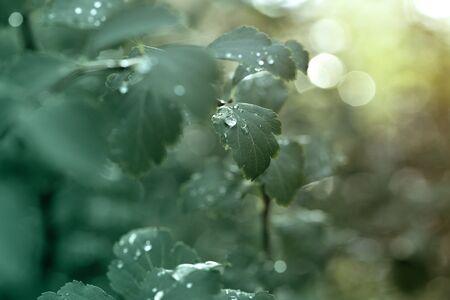 Rain drops on green leaf nature background. Nature background of green leaves.
