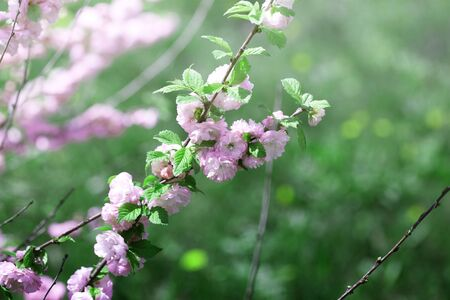 branch with little pink flowers. twig shrub with small pink flowers. flowers in the garden at springtime