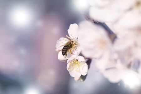 bee on a white flower on a tree. Bee picking pollen from apricot flower.Bee on apricot blossom.Honeybee collecting pollen at a white flower