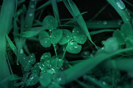 Fresh green grass with dew drops close up. Green grass background. Drop of dew in morning on leaf. Nature Background.