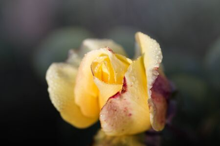 Yellow rose with drops of dew. Yellow rose with water drops. Macro