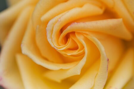 Yellow Rose Close-Up. Yellow rose macro. Rose close-up background.