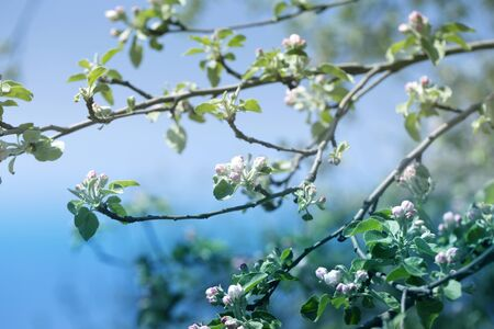 Blooming apple tree in spring time.fresh Apple tree twig with flowers and leaves on garden