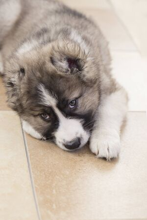 Cute Caucasian shepherd puppy. Caucasian shepherd dog is 2 month. Beautiful happy puppy is lying on the floor