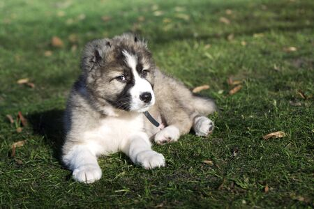 Caucasian Shepherd dog puppy  on a green lawn. Puppy of Caucasian shepherd dog. Cute Caucasian shepherd puppy