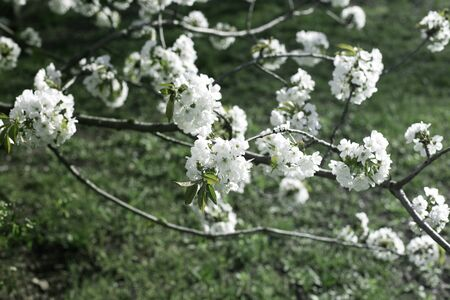 A branch of sweet cherry  with flowers. Spring flowering of the garden tree.Spring Cherry blossoms