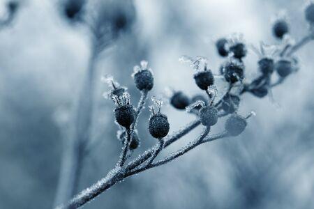 plants with hoarfrost. Frozen plants in winter with the hoarfrost.Beauty winter flowers art design. 版權商用圖片