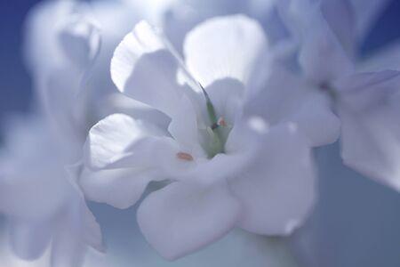 close up of white flower, shades of white, soft dreamy image. Blossoming White Geranium. pelargonium flowers
