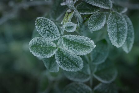 Winter weather. Rose leaves covered with hoarfrost