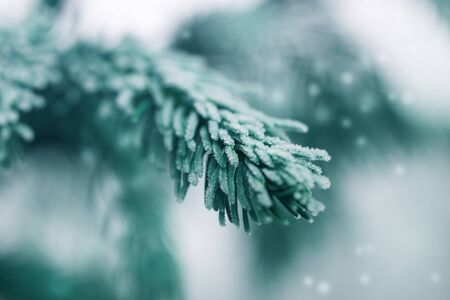 Hoarfrost fir tree branch, winter time, frozen needles. Christmas backdrop, cold weather.