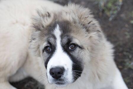 Cute Caucasian shepherd puppy. Caucasian shepherd dog is 4 month. Beautiful happy puppy is in an garden 版權商用圖片