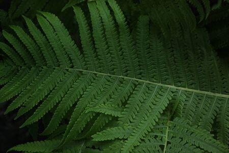 Beautiful ferns leaves. green foliage. natural floral fern background 版權商用圖片