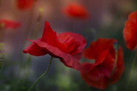 Close up poppy head. red poppy. Red poppy flowers field, close up. Red poppy on green weeds field. 版權商用圖片