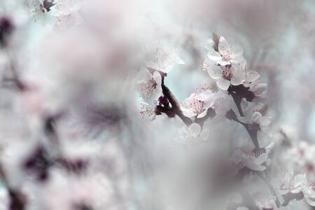 nature scene with blooming tree. flowering spring trees.Spring blossom background 版權商用圖片
