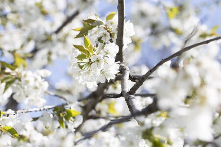 flowering spring trees.Spring blossom background. Beautiful nature scene with blooming tree