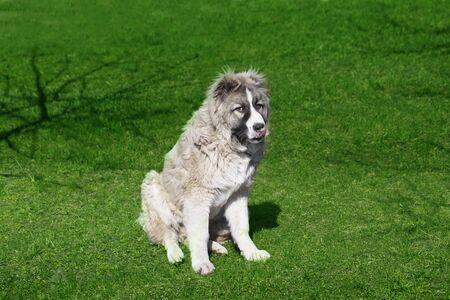 Cute Caucasian shepherd puppy. Caucasian shepherd dog is 6 month. Beautiful happy puppy is in an garden
