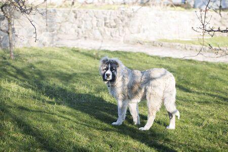 Cute Caucasian shepherd puppy. Caucasian shepherd dog is 6 month. Beautiful happy puppy is in a garden