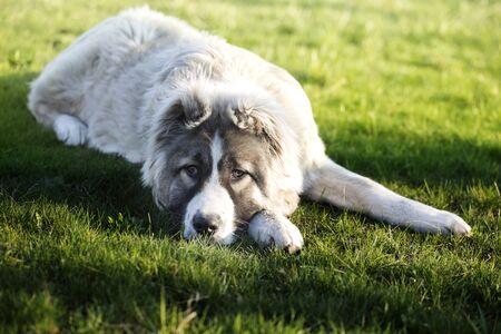 Cute Caucasian shepherd puppy. Caucasian shepherd dog is 6 month. Fluffy Caucasian shepherd dog is lying on a green grass Archivio Fotografico