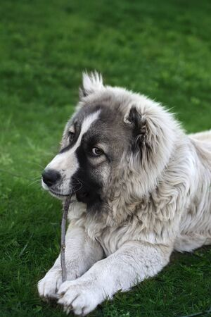 dog nibbles the stick. six month old caucasian shepherd nibbles a stick Archivio Fotografico