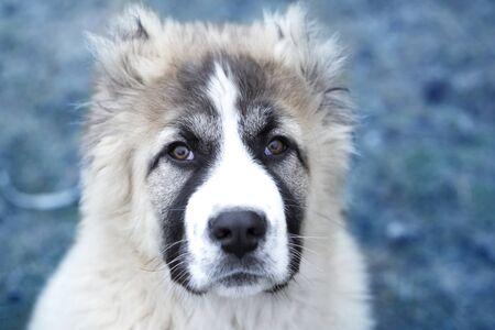 Cute Caucasian shepherd puppy. Caucasian shepherd dog is 4 month. Beautiful happy puppy is in an garden Archivio Fotografico
