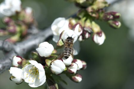 bee on a white flower on a tree.Bee picking pollen from cherry tree flower.Bee on cherry tree blossom.Honeybee collecting pollen at a white flower blossom