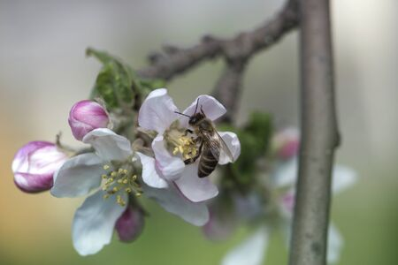 bee on a white flower on a tree.Bee picking pollen from apple flower.Bee on apple blossom.Honeybee collecting pollen at a pink flower blossom Archivio Fotografico