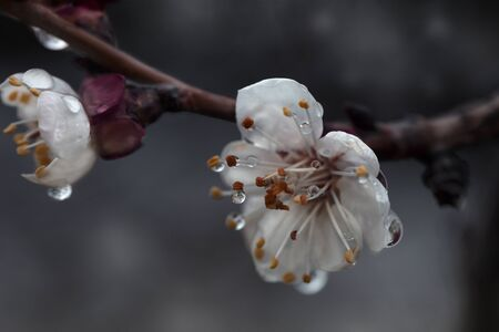A branch of a flowering tree with drops of dew or rain.apricot blossom, flowers close-up with dew drops. closeup flowers of apricot tree with dew drops