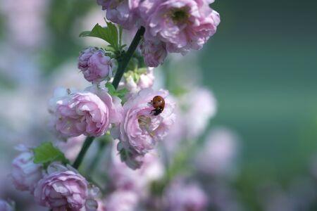 Ladybug on pink tender flowers. ladybug on a pink spring flower