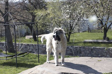 Caucasian shepherd dog is 7 month. Beautiful happy puppy is in a garden 免版税图像