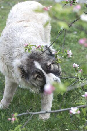 Caucasian shepherd dog is 7 month. Beautiful happy puppy is in a garden