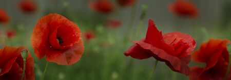 Red poppy flowers field, close up. Red poppy on green weeds field.Web Banner