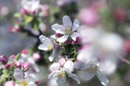 Apple Tree Blossoms with white and pink flowers.Spring flowering garden fruit tree. Beautiful Spring Nature background. Blooming of Apple trees.