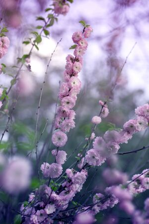 puffy pink flowers of the decorative almond bush. Pink almond flower blossoms in the spring