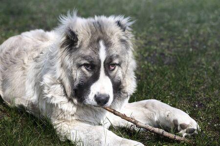 dog nibbles the stick. six month old caucasian shepherd nibbles a stick 免版税图像