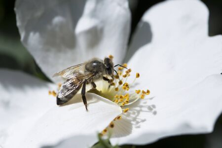 spring (summer) rose flower and bee. Bee on a flower. Bee on a white flower