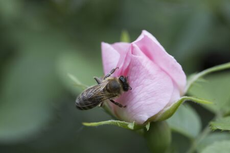 spring (summer) rose flower and bee. Bee on a flower. Bee on a pink flower 免版税图像