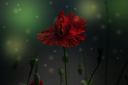Close up poppy head with water drops. Poppy with drops of water 免版税图像