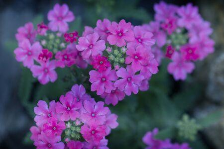 pink flowers close up. Close up on Verbena. Verbena hybrida. Pink Verbena Hybrida blooming 免版税图像