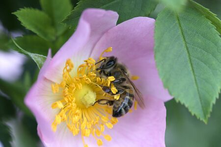 spring (summer) rose flower and bee. Bee on a flower. Bee on a pink flower of  dog rose