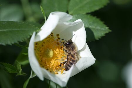 spring (summer) rose flower and bee. Bee on a flower. Bee on a white flower of  dog rose