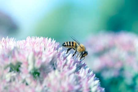 Bee on a flower of the Sedum (Stonecrop) in blossom. Macro of honey bee (Apis) feeding on pink (rose) flower
