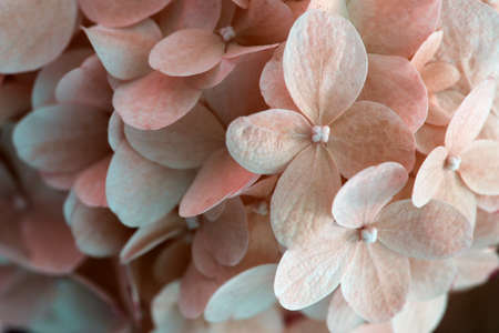 Beautiful colorful texture of flowers for designers. Hydrangea flowering hydrangea, pastel color. beautiful flower texture