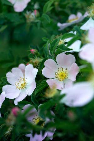 Rose hip bush strewn with pink flowers. Pink rose hip flower on a bush