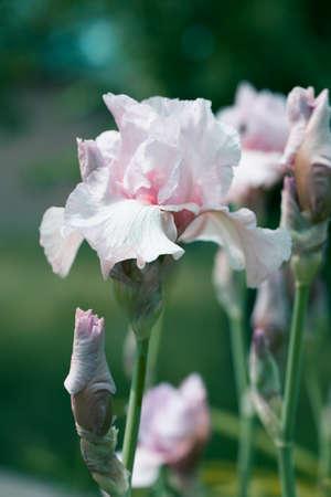 Close up of light pink Iris Flower in a garden