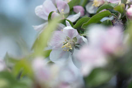 Apple Tree Blossoms with white and pink flowers. Spring flowering garden fruit tree. Beautiful Spring Nature background. Blooming of Apple trees. 免版税图像