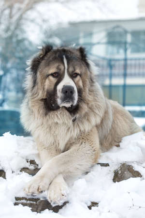 Adult Caucasian Shepherd dog. Caucasian sheepdog in winter time