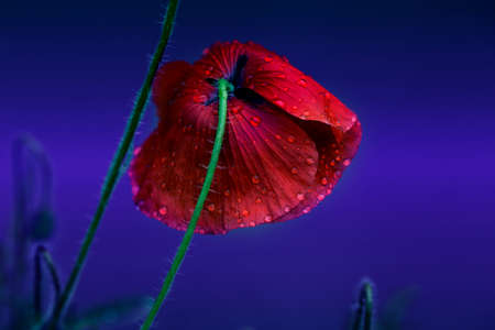 Papaver rhoeas common names include corn poppy, corn rose, field poppy, Flanders poppy, red poppy, red weed, coquelicot. Red Poppy flower with water drops. delicate red poppy flower in the drops of rain